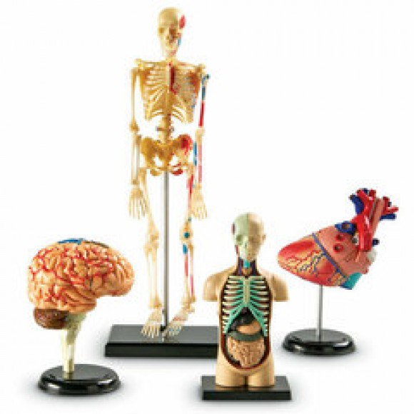 Анатомічні моделі